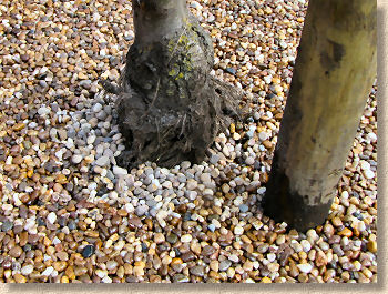 loose aggregate around trunk